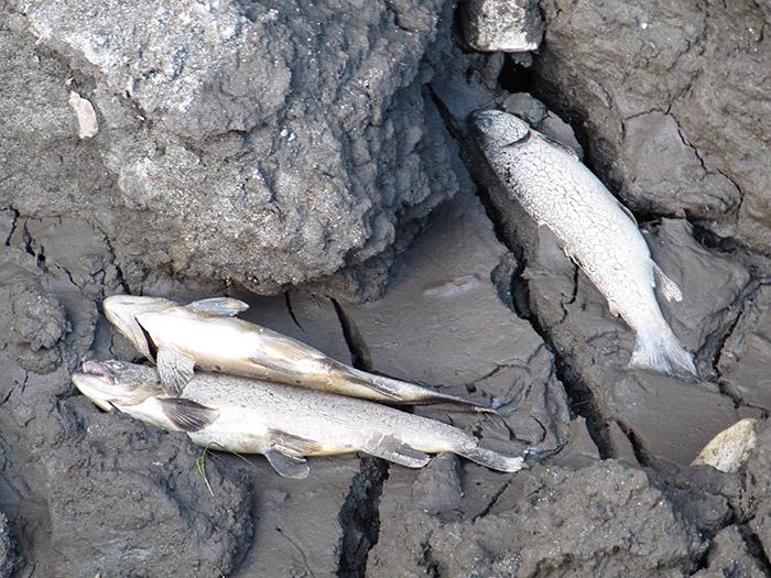 Fisk liggende igjen på bunnen